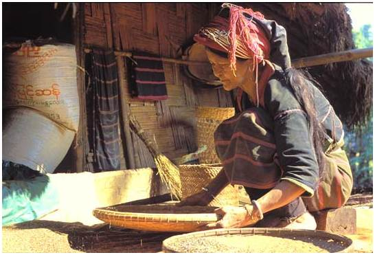 Sorting of the rice by a Pao woman